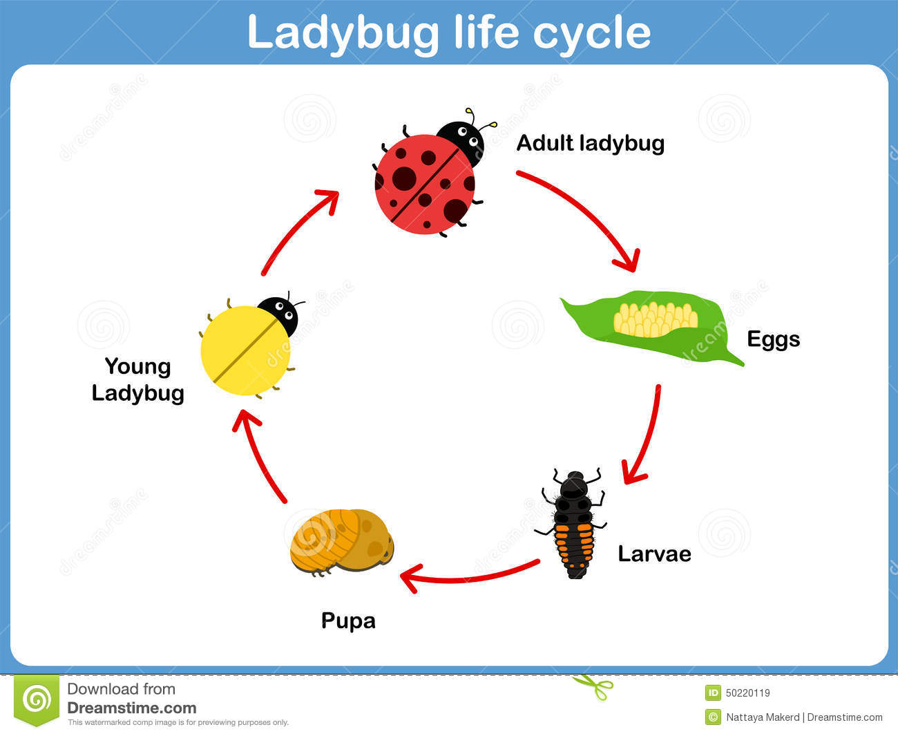 Vector Cycle Of Ladybug For Kids Stock Vector