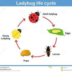 Sea Turtle Life Cycle Diagram E38 Dsp Wiring Vector Of Ladybug For Kids Stock