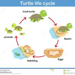 Lizard Life Cycle Diagram Reading A Car Wiring Vector Of Turtle For Kids Stock Image 50220021