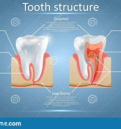 vector dental anatomy and tooth structure diagram stock vector tooth layers diagram [ 1600 x 1003 Pixel ]