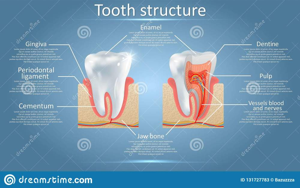 medium resolution of vector dental anatomy and tooth structure diagram stock vector tooth layers diagram