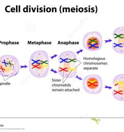 vector diagram of the meiosis phases [ 1300 x 824 Pixel ]