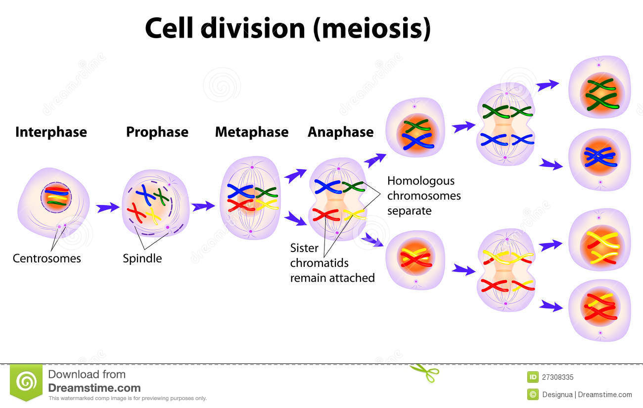 hight resolution of vector diagram of the meiosis phases