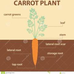 Carrot Plant Diagram Cat5e Wiring Uk Vector Showing Parts Of Whole Stock