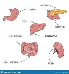 vector drawing of stomach liver pancreas intestine duodenum spleen and gallbladder with organs names [ 1600 x 1690 Pixel ]