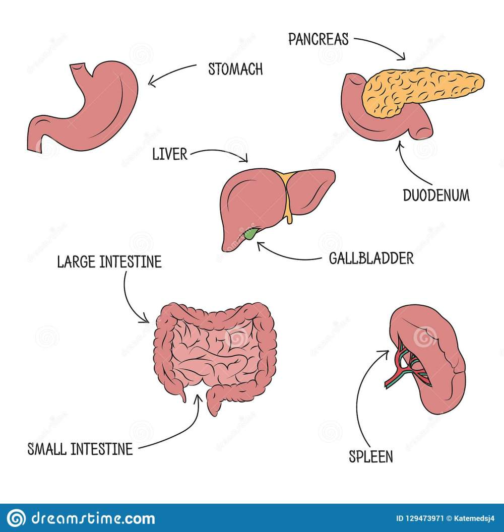 medium resolution of vector drawing of stomach liver pancreas intestine duodenum spleen and gallbladder with organs names