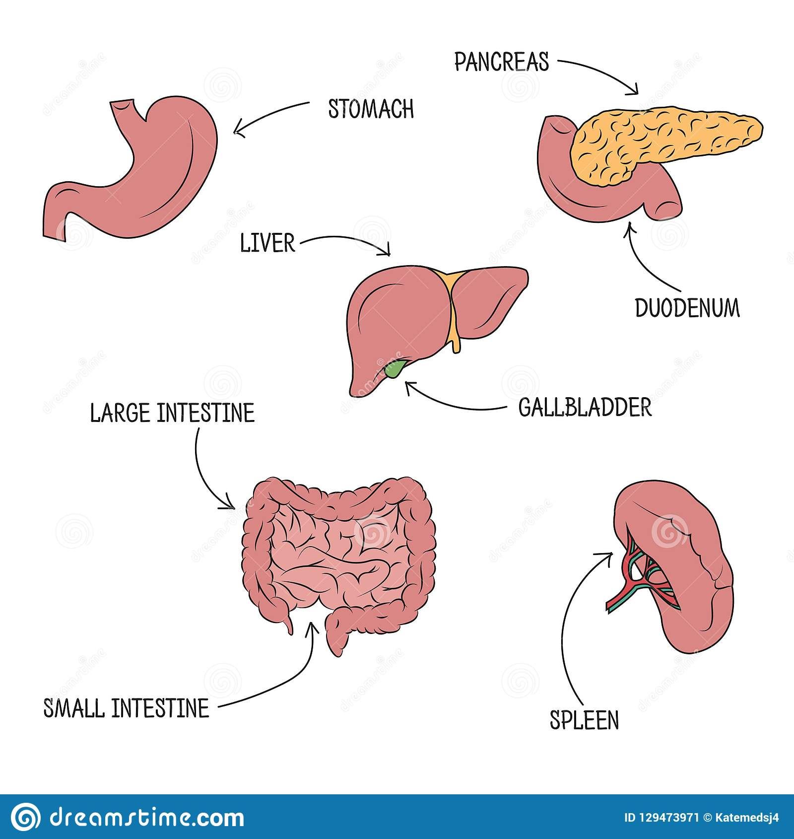 hight resolution of vector drawing of stomach liver pancreas intestine duodenum spleen and gallbladder with organs names