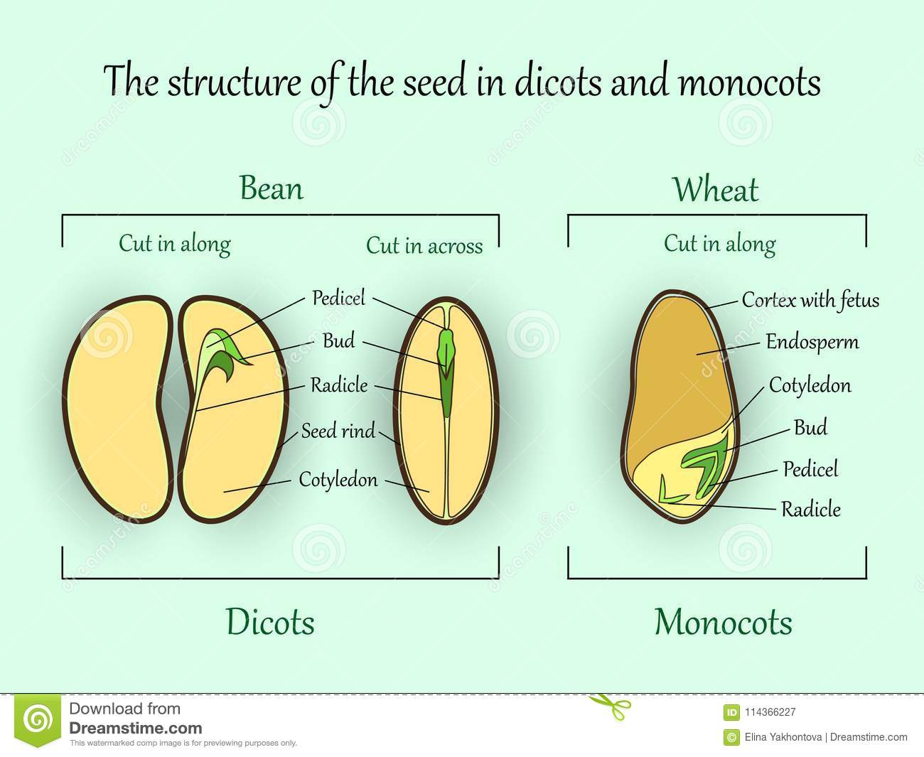 hight resolution of vector education botany banner structure monocot and dicot plant seeds in cut sections agriculture biology science illustration