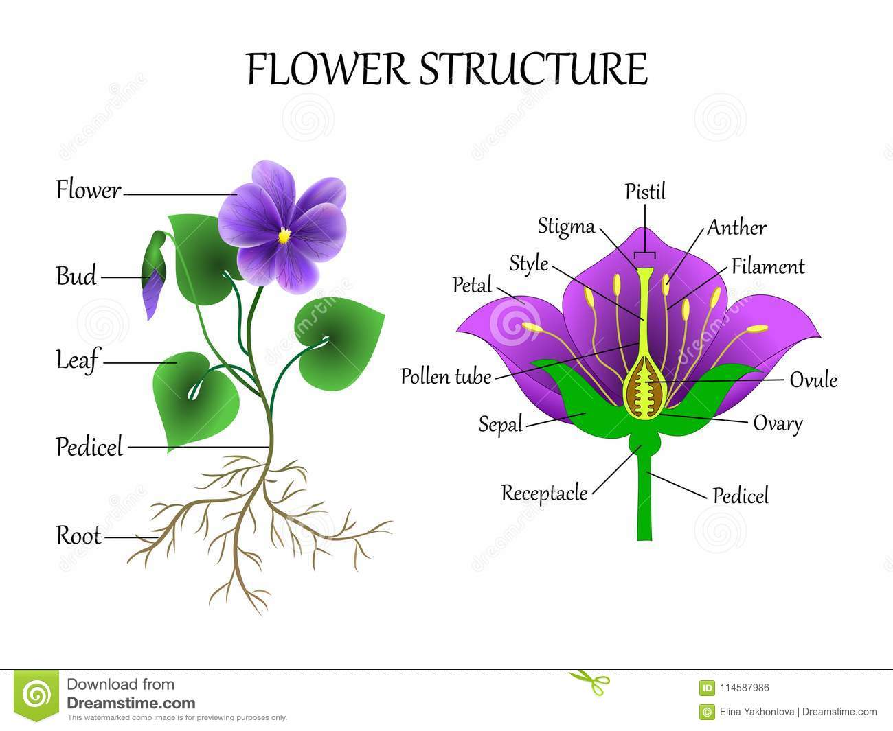 hight resolution of vector education diagram of botany and biology the structure of the flower in a section