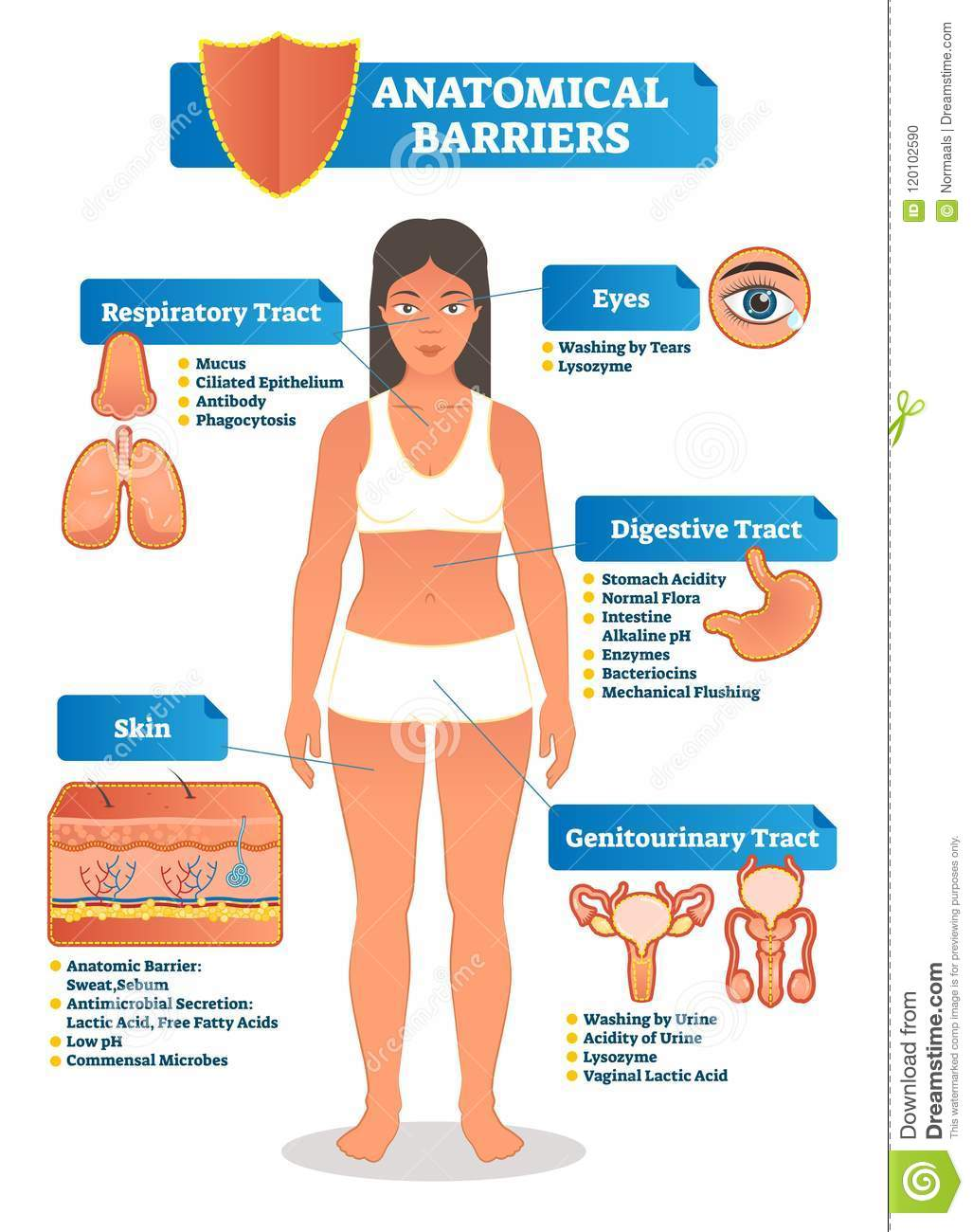hight resolution of vector illustration with anatomical barriers scheme human body with respiratory digestive genitourinary tract eyes and skin