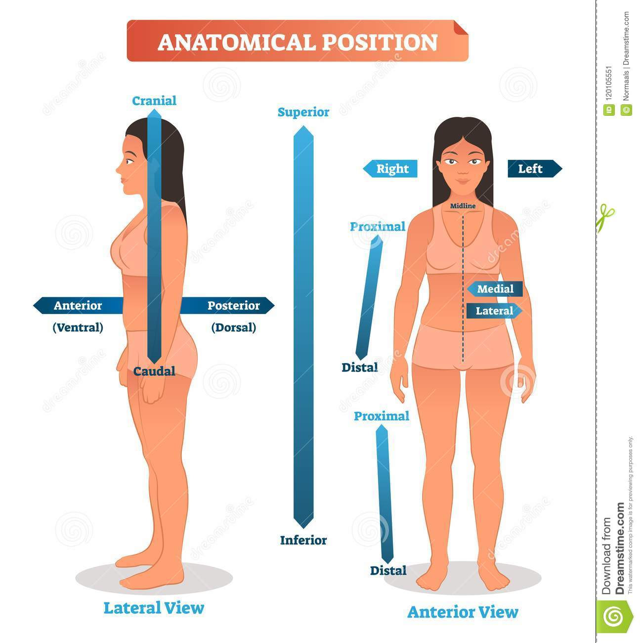 Anatomical Positions Vector Illustration Scheme Of Superior Inferior And Proximal Distal