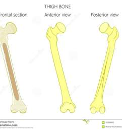 anatomy of a thigh bone tubular bone and spongy bone structure frontal section anterior and posterior view for advertising and medical publications  [ 1300 x 1090 Pixel ]