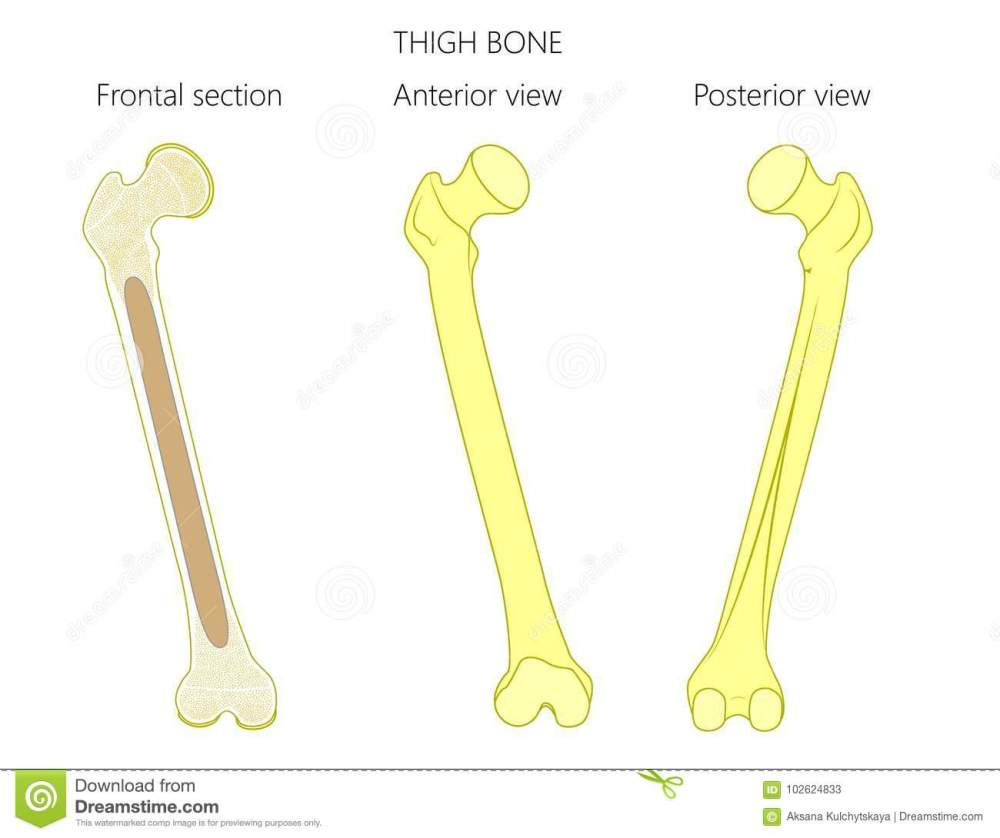 medium resolution of anatomy of a thigh bone tubular bone and spongy bone structure frontal section anterior and posterior view for advertising and medical publications