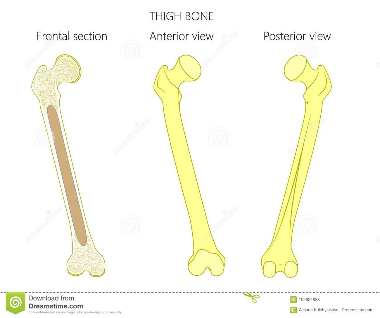 hight resolution of anatomy of a thigh bone tubular bone and spongy bone structure frontal section anterior and posterior view for advertising and medical publications