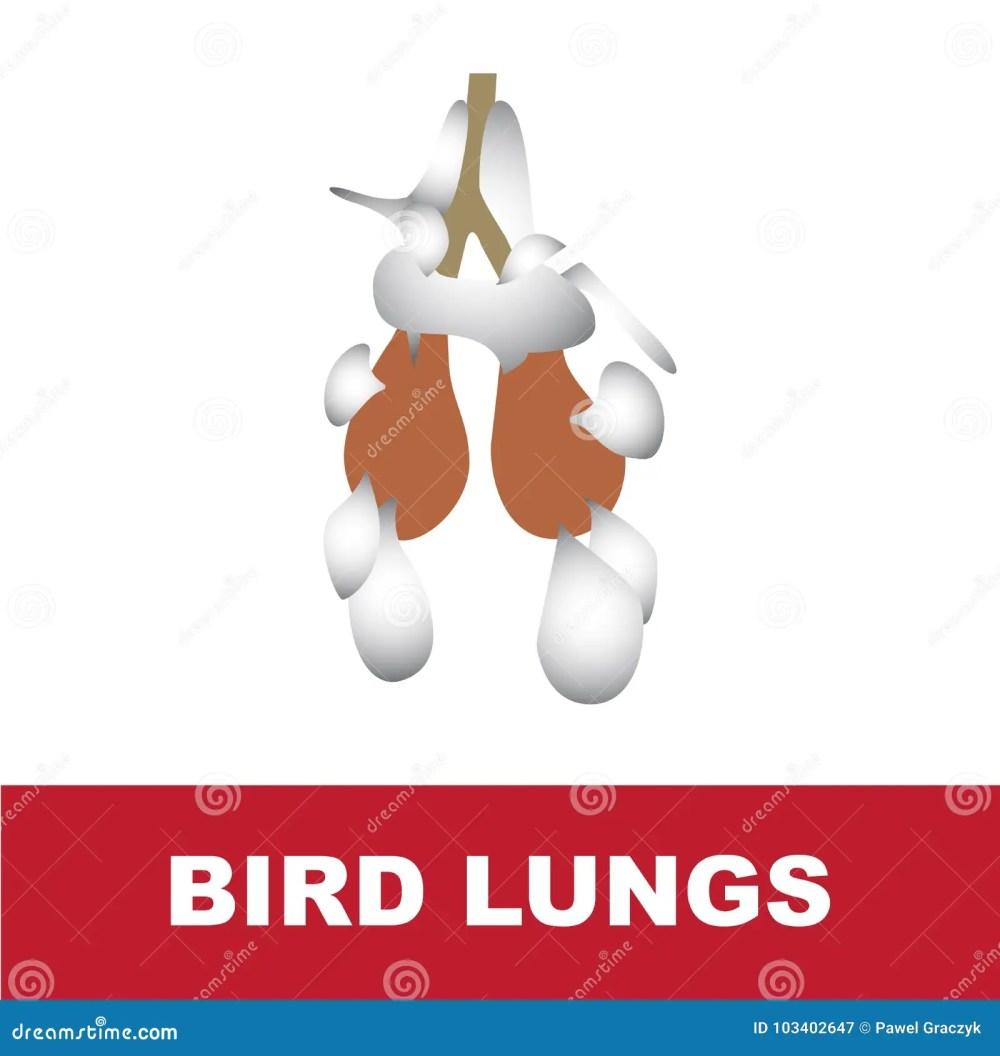 medium resolution of vector illustration of bird schematic lung anatomy