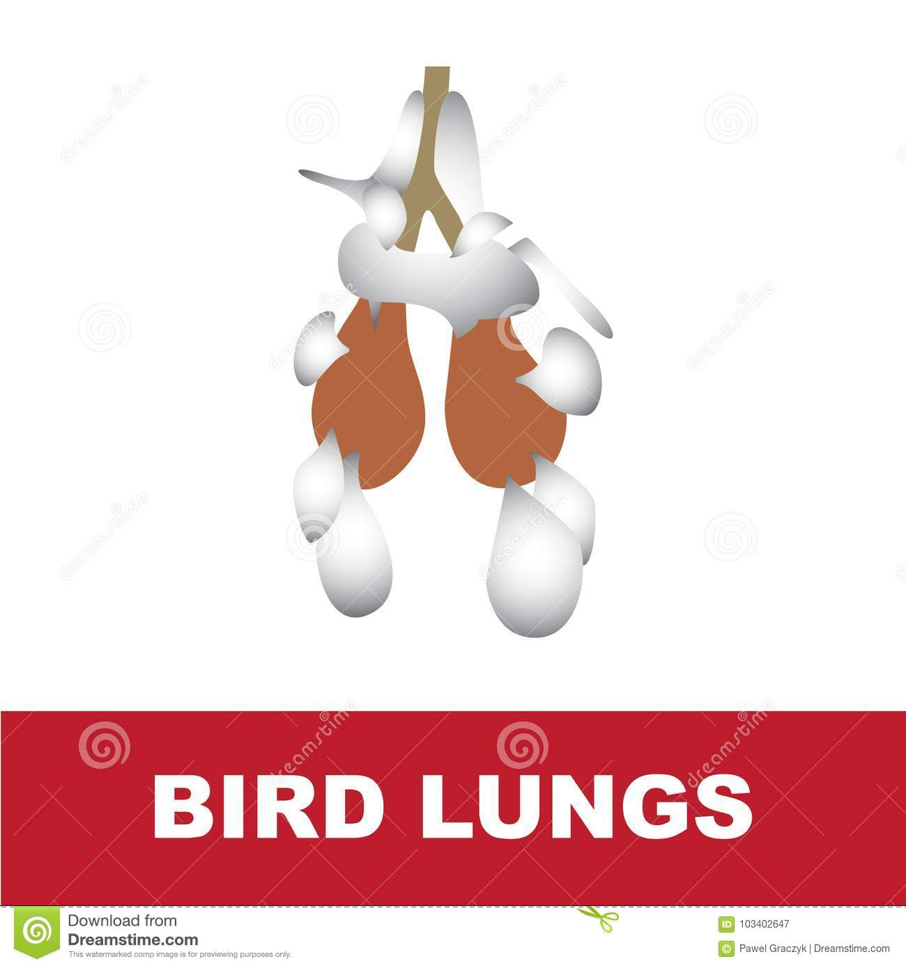 hight resolution of vector illustration of bird schematic lung anatomy