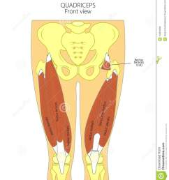 vector illustration diagram anatomy of human quadriceps front view for advertising and medical publications eps 10 [ 1173 x 1300 Pixel ]