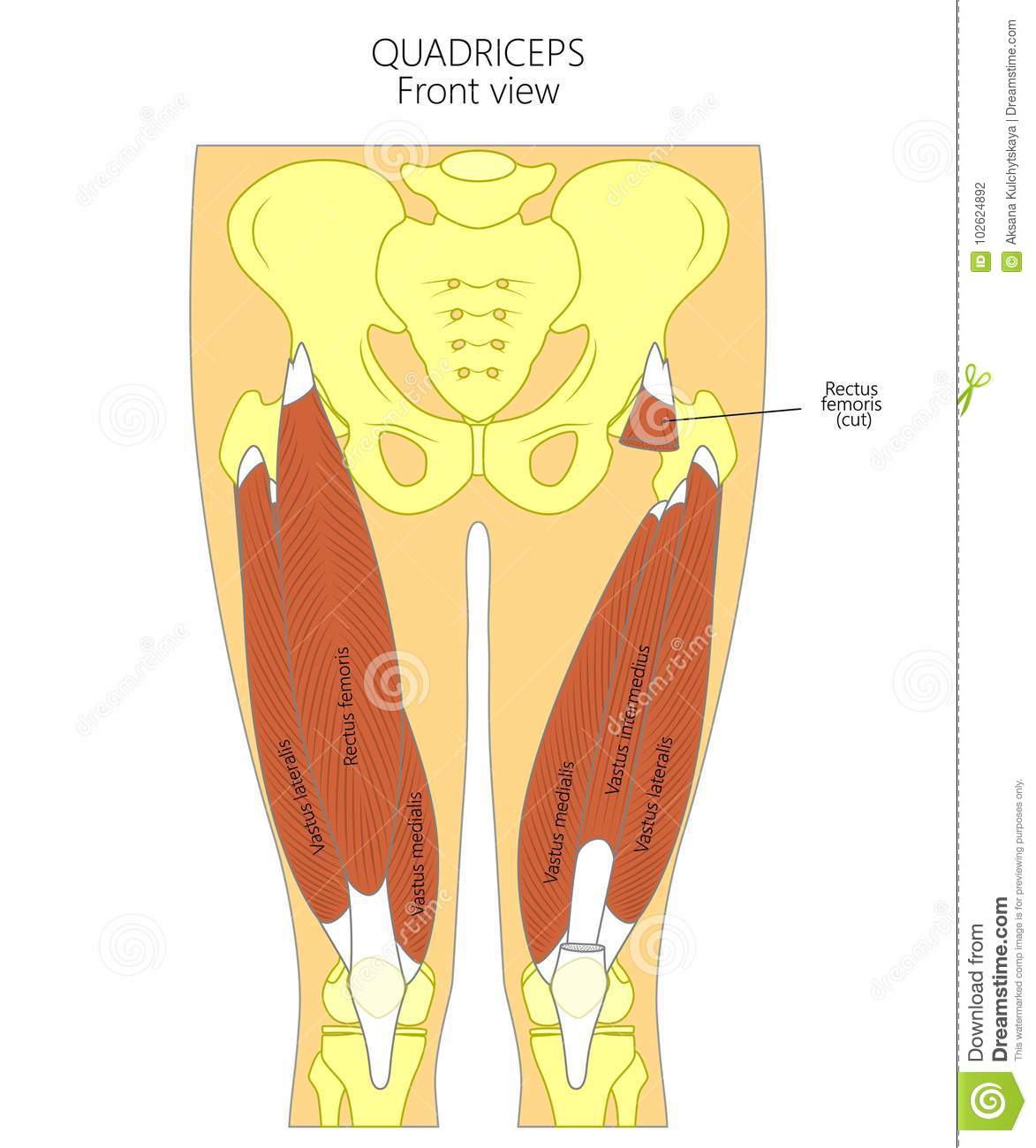 hight resolution of vector illustration diagram anatomy of human quadriceps front view for advertising and medical publications eps 10