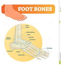 vector illustration with foot bones medical diagram and educational scheme with tibia fibula  [ 1323 x 1300 Pixel ]
