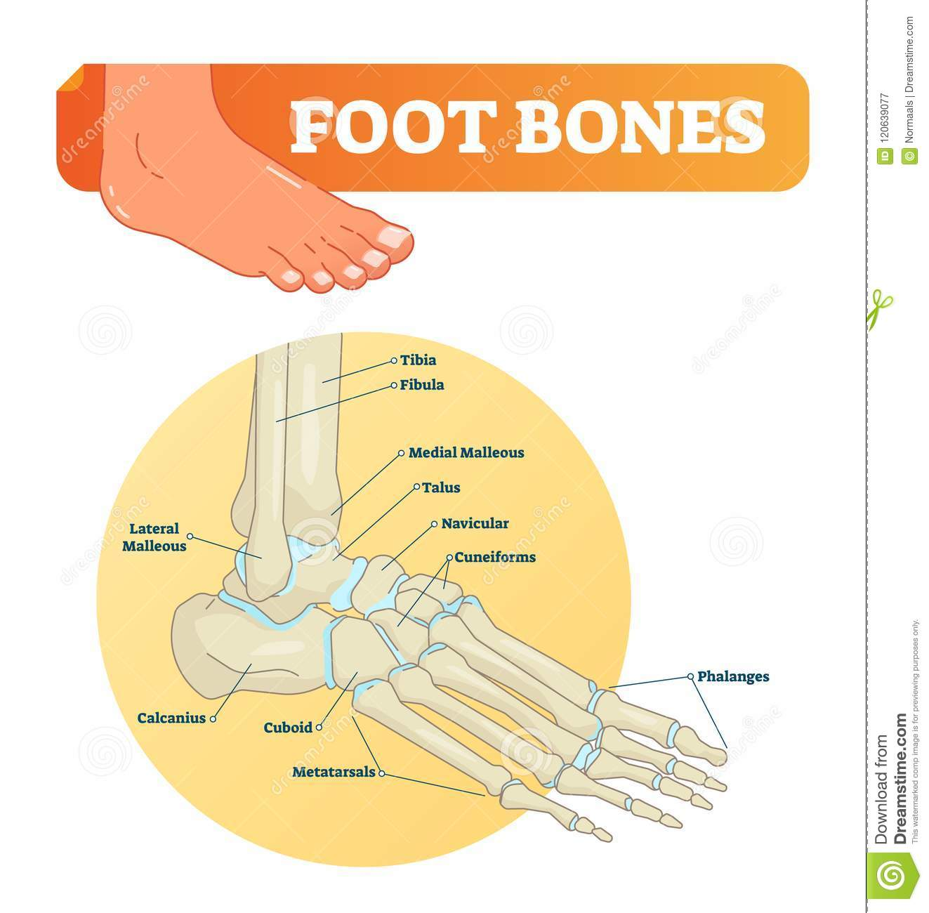 hight resolution of vector illustration with foot bones medical diagram and educational scheme with tibia fibula