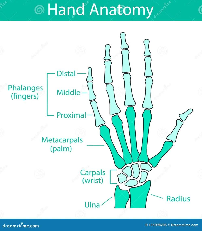 medium resolution of vector illustration of human hand skeletal anatomy bone structure diagram educational materials medical clinic institute rehabilitation diagnostic