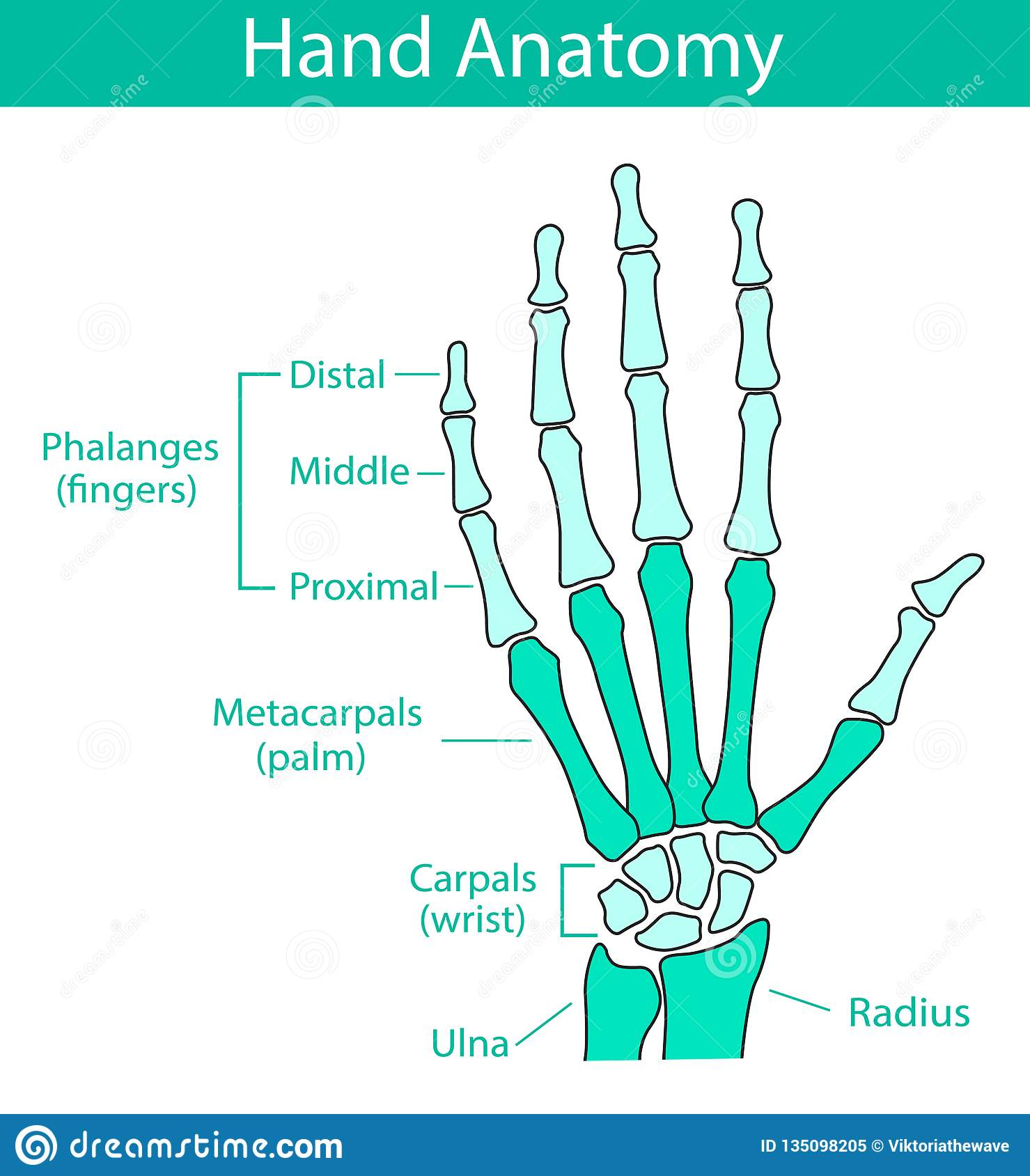 hight resolution of vector illustration of human hand skeletal anatomy bone structure diagram educational materials medical clinic institute rehabilitation diagnostic
