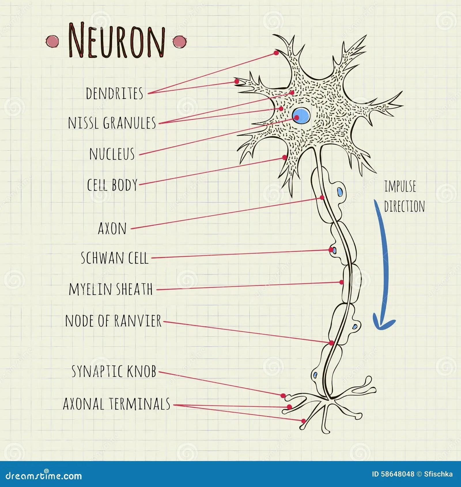 Vector Illustration Neuron Chart Stock Vector