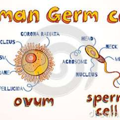Lungs Human Anatomy Diagram Basic Car Wiring Structure Of Gametes : Egg And Sperm Royalty-free Illustration | Cartoondealer.com #27447129