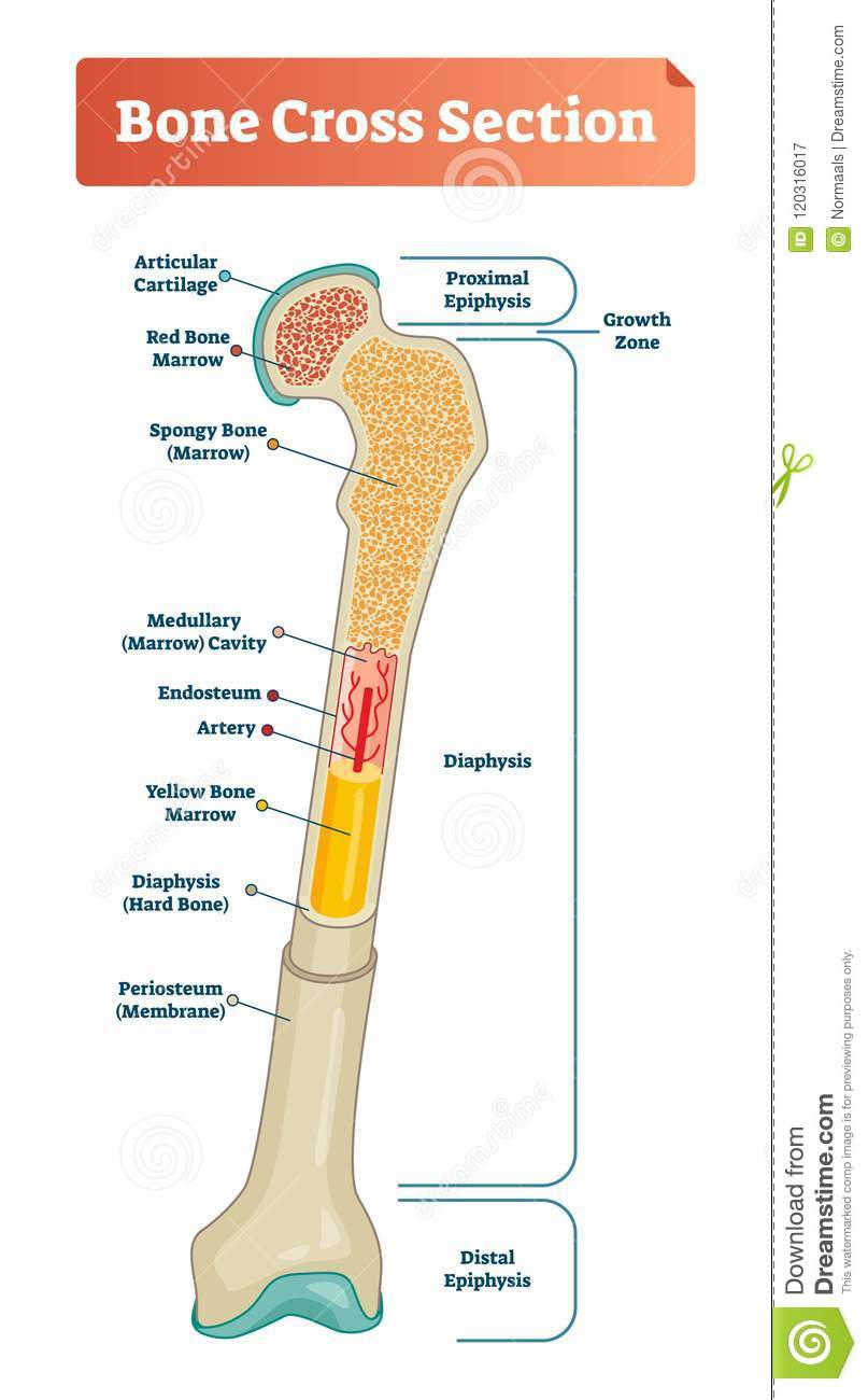 hight resolution of vector illustration scheme of bone cross section diagram with articular cartilage marrow medullary cavity and periosteum