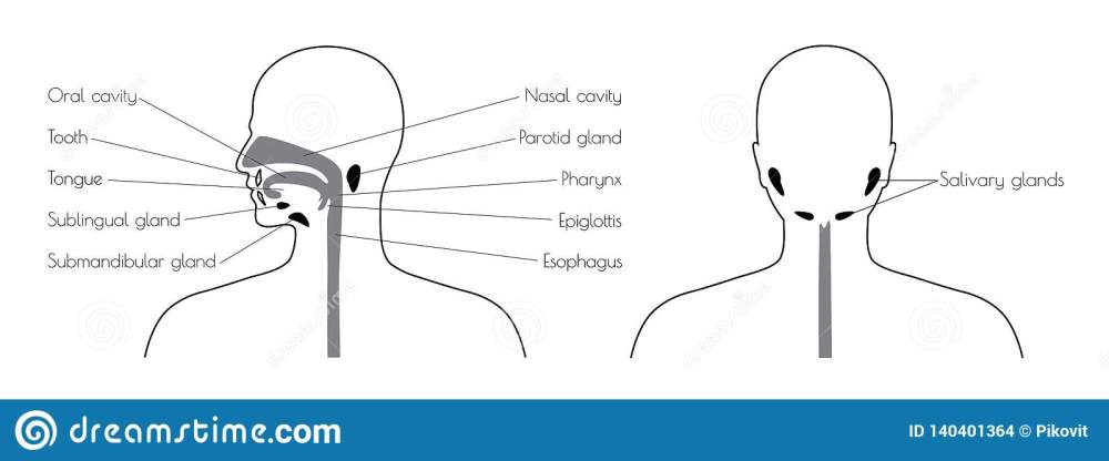 medium resolution of diagram of esophagus th head wiring diagram sample diagram of esophagus th head