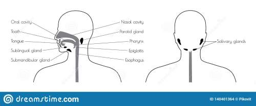 small resolution of diagram of esophagus th head wiring diagram sample diagram of esophagus th head