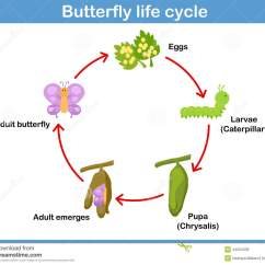 Sea Turtle Life Cycle Diagram 5 Pin Relay Wiring Light Bar Vector Of A Butterfly For Kids Stock