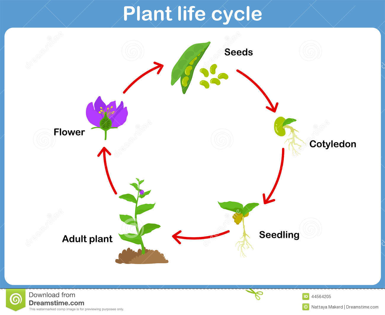 Vector Life Cycle Of A Plant For Kids Stock Vector