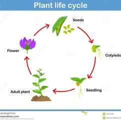 Sunflower Plant Life Cycle Diagram 2001 Nissan Frontier Engine Search Results For Of A Worksheet