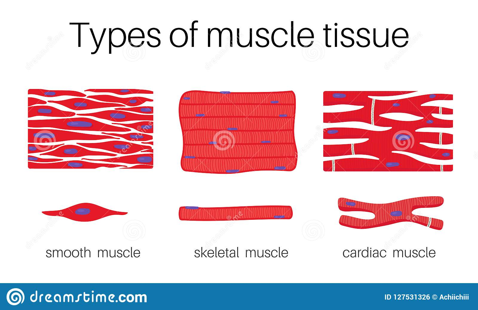 Illustration Is Types Of Muscle Tissue Stock Vector