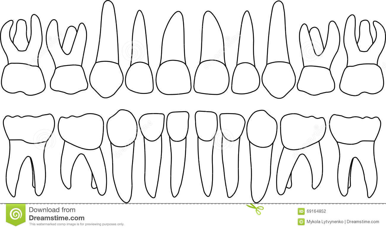 Dental Row Primary Teeth Stock Vector Illustration Of