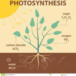 Photosynthesis Z Scheme Diagram For Basketball Coaches Court Vector Schematic Illustration Showing Of Plant - Agricultural Infographic Stock ...