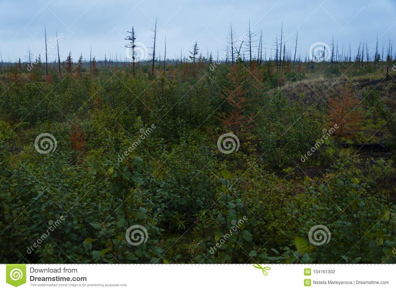 Find out how to plant a pine tree in this article from howstuffworks. Vegetation Of The Taiga Stock Photo Image Of Current 104161302