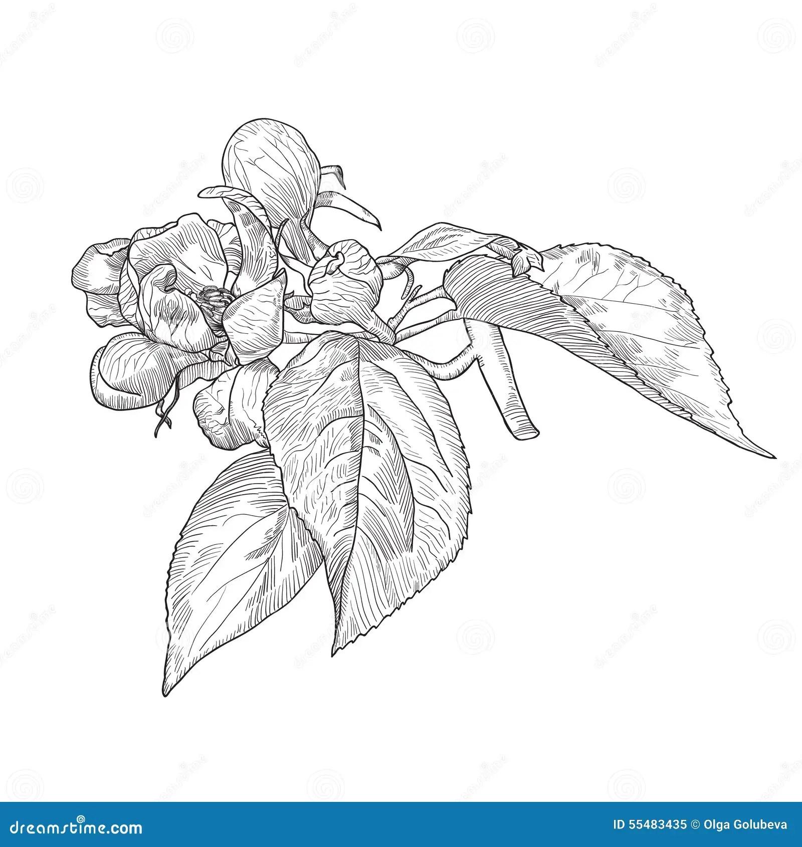 Vintage Hand Drawn Blooming Apple Tree Twig Stock Vector