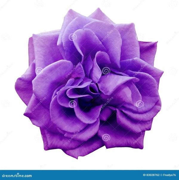 Closeup Of Violet Brunfelsia Jasmine Flower Stock Photo