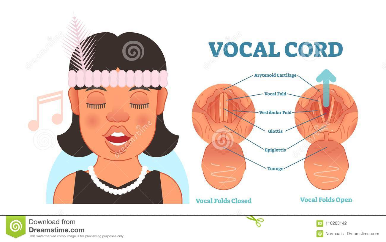 hight resolution of vocal cord anatomy vector illustration diagram educational medical scheme