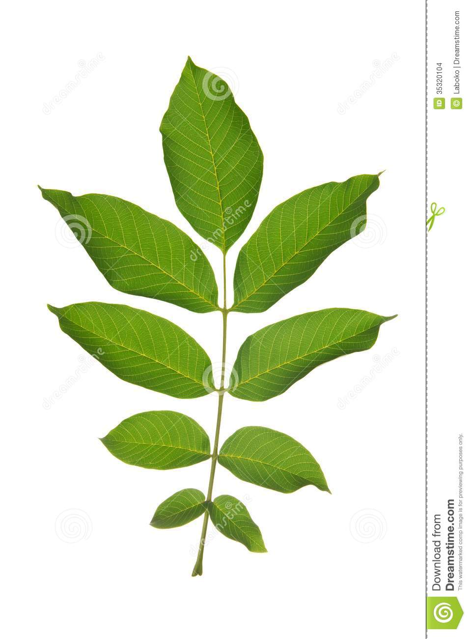Walnut Leaf Stock Photo Image Of Pattern Flora Organic