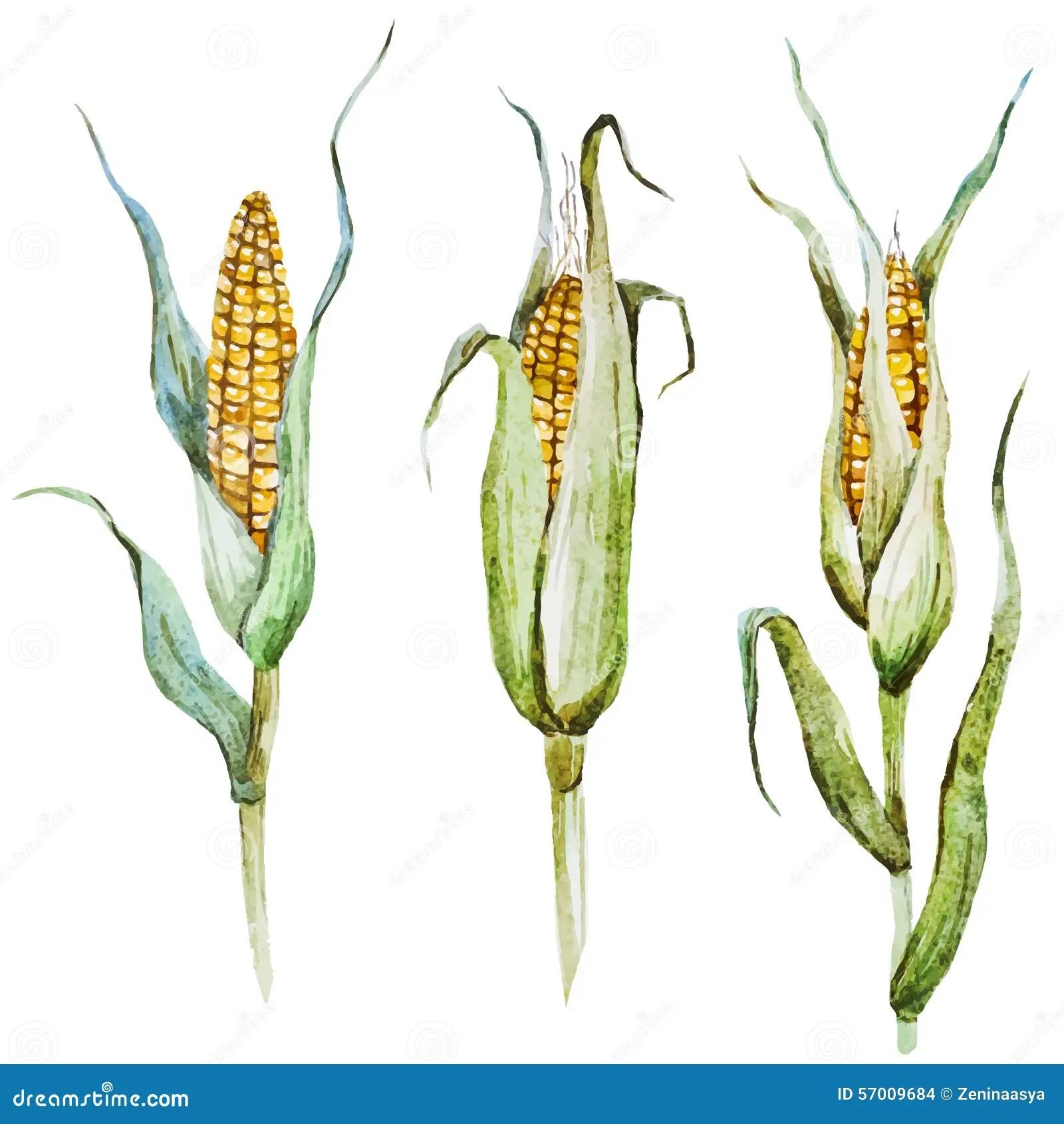 watercolor corn stock vector