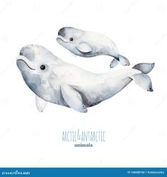 Beluga Whales Stock Illustrations 188 Beluga Whales Stock Illustrations Vectors & Clipart Dreamstime