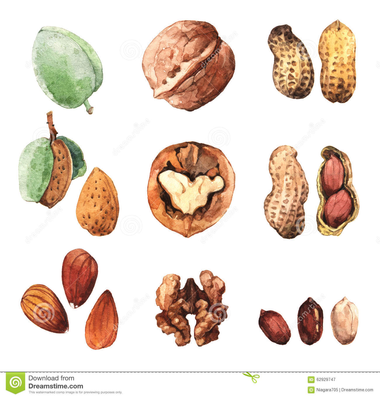 Watercolour Clip Art Illustrations Of Culinary Nuts Stock