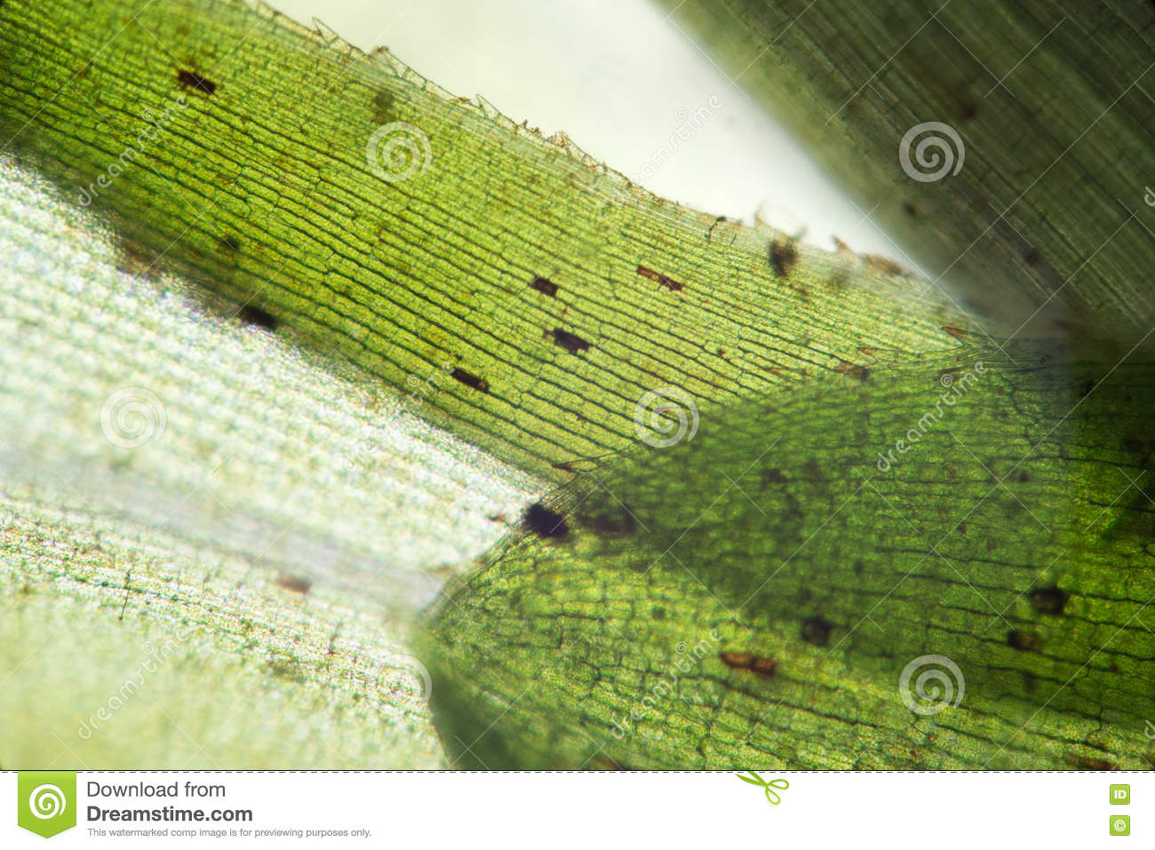 elodea leaf cell diagram general electric motors wiring waterweed structure by microscope freshwater