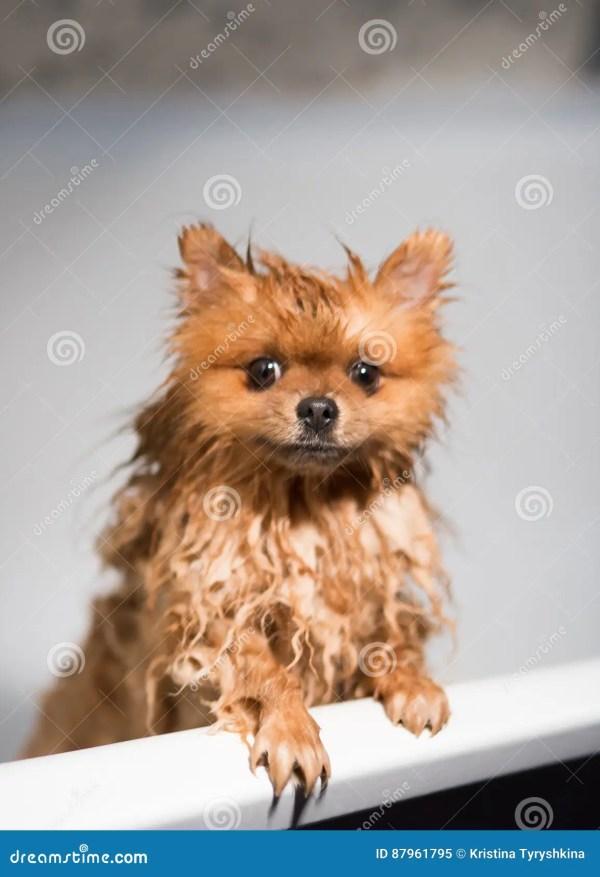 Well Groomed Pomeranian Husky - Year of Clean Water