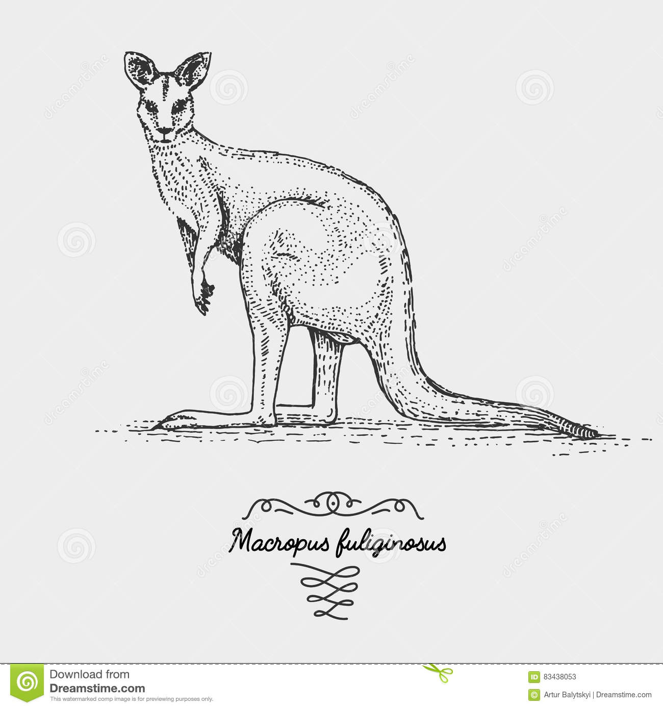 The Western Grey Kangaroo Macropus Fuliginosus Stock
