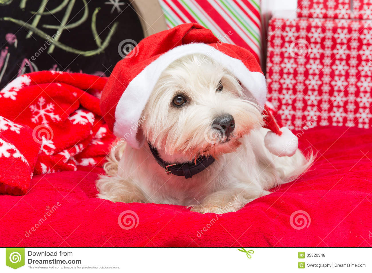 Westie In Christmas Hat Stock Photo Image Of Small