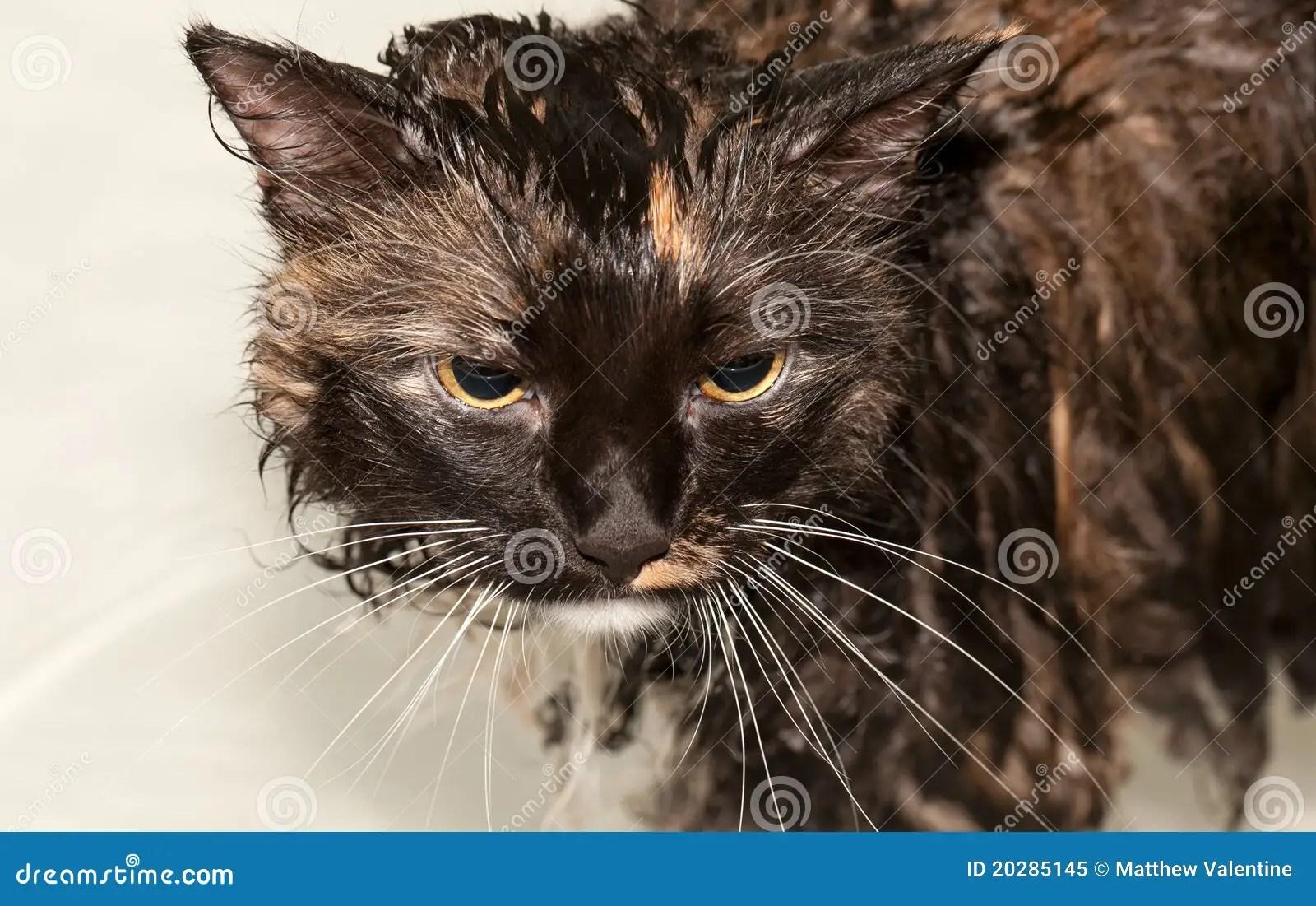 Wet Cat In Bathtub Royalty Free Stock Photo Image 20285145